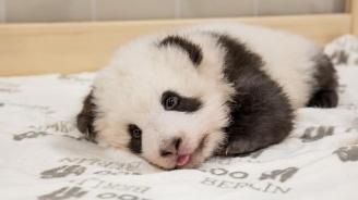 Вижте нови снимки на пандите близначета в берлинската зоологическа градина