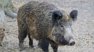 Забраняват достъпа в горски територии след нов случай на АЧС в землището на Николаево