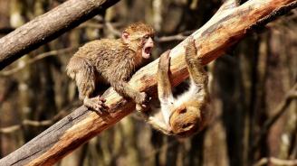 Със система за лицево разпознаване в Индия ще се борят с агресивните маймуни