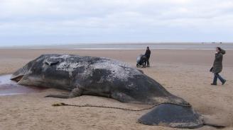 Откриха 100 кг боклук в стомаха на мъртъв кит
