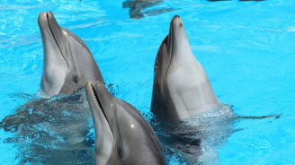 Два делфина нахапаха 10-годишно момиченце