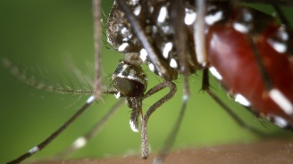 Тигровият комар е реална заплаха за Европа