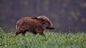 Избиха над 900 с диви свине в Старозагорска област