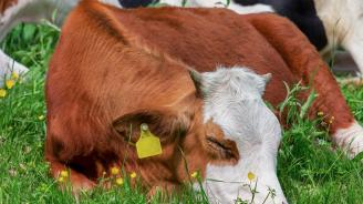 Определени са ставките за обвързано подпомагане за животни за 2019 г.
