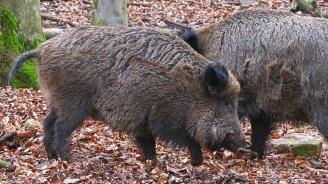 В Благоевградско има два нови случая на африканска чума по свинете