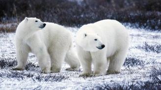 60 полярни мечки обсадиха село в Чукотка