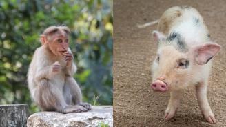В Китай се родиха първите два хибрида между прасе и маймуна
