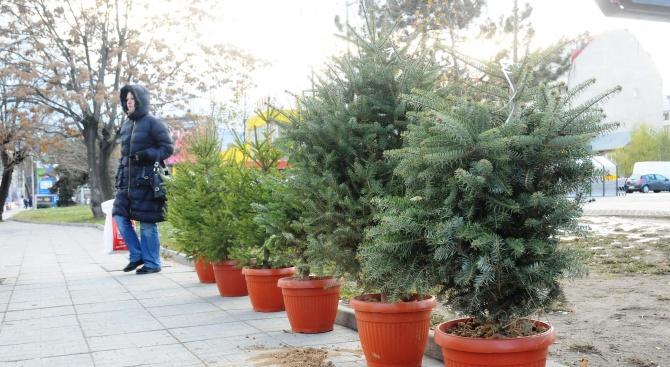 Държавно горско стопанство - Добрич предлага благотворително живи елхи за коледните и новогодишни празници