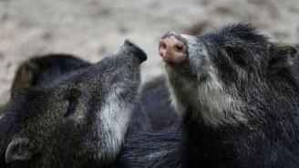 Диви прасета с африканска чума са открити край село Комарево
