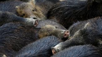 Германия затяга мерките срещу свинската чума