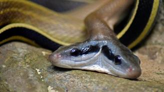 Двуглава кобра беше видяна в Индия
