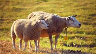 Условна присъда за фермер, укрил 6 овце от еврофонд