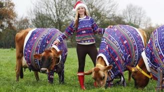 Американска фермерка облече кравите си в коледни пуловери