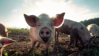 Над 27 000 прасета са умрели от класическа чума по свинете в Индонезия