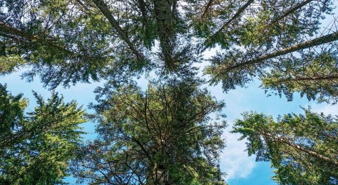 Специалисти откриха най-високото дърво в Амазония