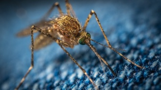 Комарите край Дунав виновни за чумата по прасетата?