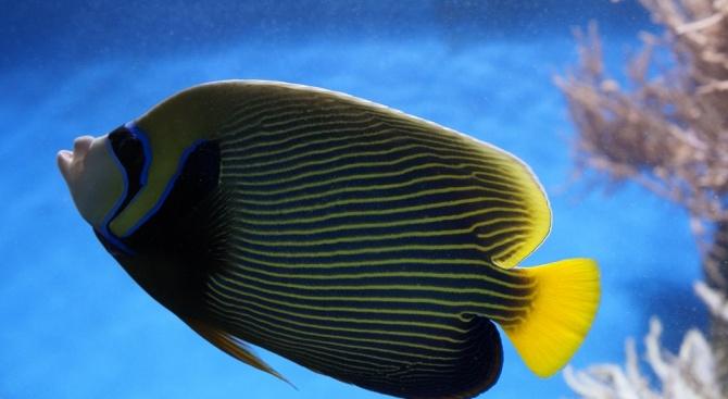 Учени наблюдаваха ходеща риба в океанските дълбини