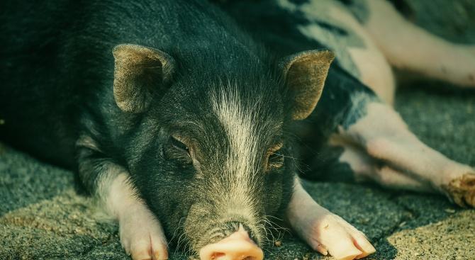 Унищожаването на заразените прасета в Шуменско ще започне във вторник