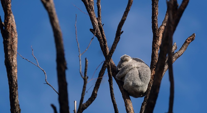 30% от коалите в Австралия изгорели при пожарите