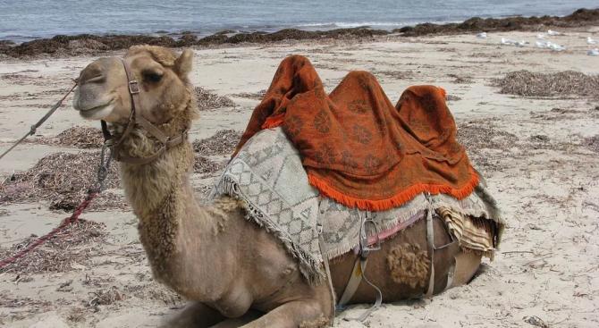 Снайперисти избиват 10 000 камили в Австралия