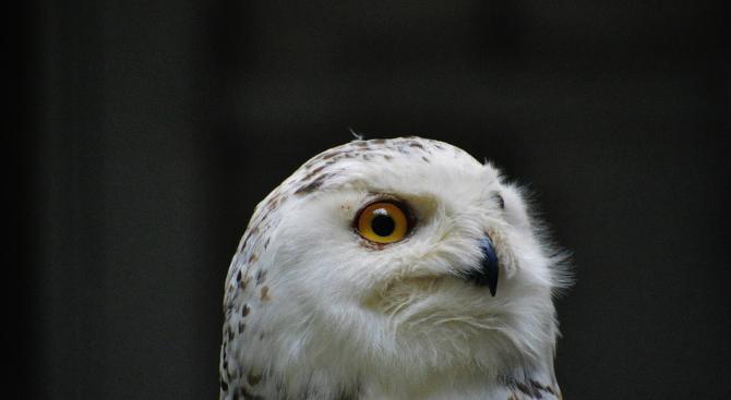 Малайзия включва сови в борбата с плъхове на палмовите плантации