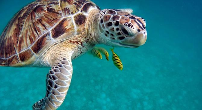 Паразит унищожи над 290 морски костенурки край Мексико