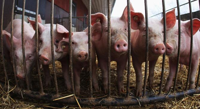 Умъртвяват 40 000 прасета във Варненско