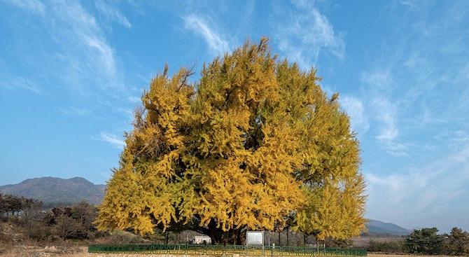 Учени разкриха тайната на многовековните дървета