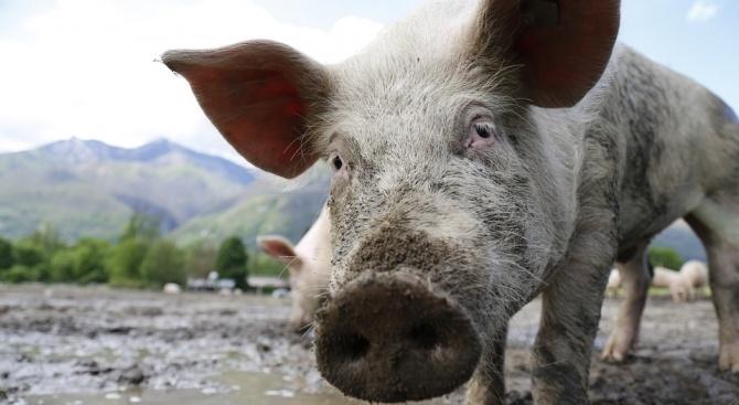 Откриха нелегално отглеждане на прасета край село Беглеж