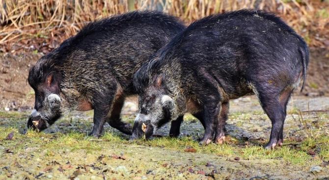 7 случая на африканска чума при диви свине в Ловешка област