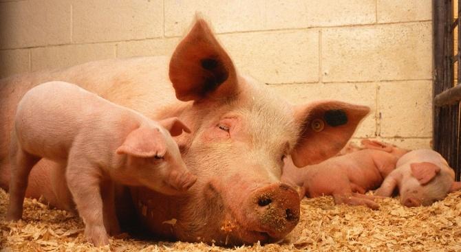 Скок в цената на свинското заради африканска чума
