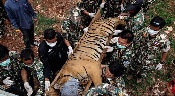 Провали се опитът на лекари в Индия да заменят липсващата лапа на тигър с протеза