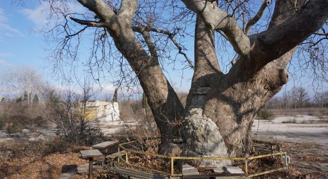 Дърво на над 1000 години живее във Варна