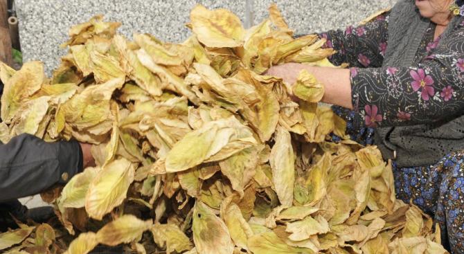 Тютюнопроизводителите ще получат малко над 76 млн.лв. преходна помощ за кампания 2019 г.