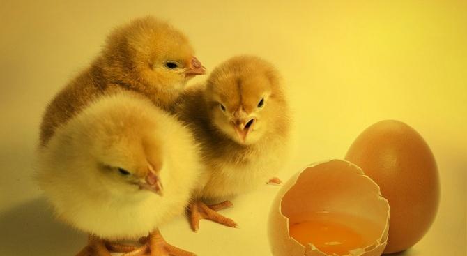 Пилетата притежават индивидуалност
