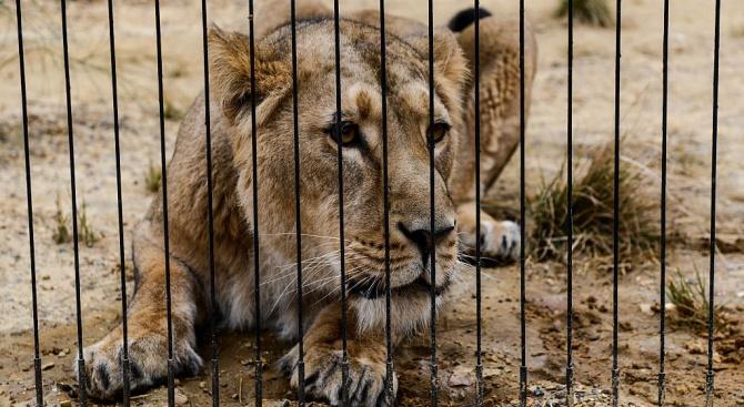 """""""Четири лапи"""" спасява бедстващи лъвове в судански зоопарк"""