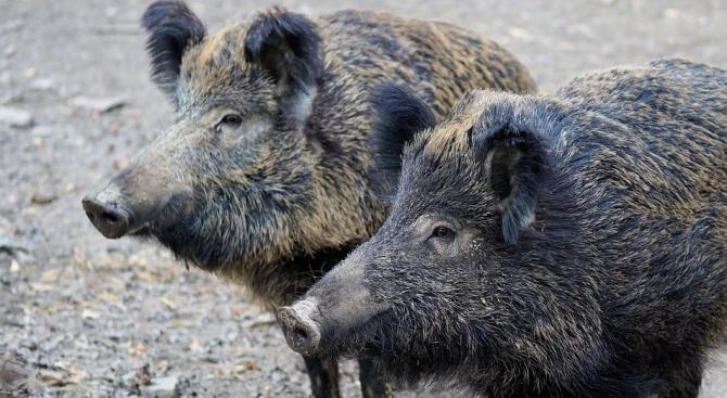 Нови случаи на африканска чума при диви свине са регистрирани в Шуменско