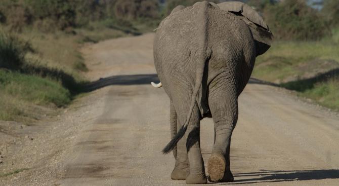 Два слона се разходиха по улиците на руския град Екатеринбур