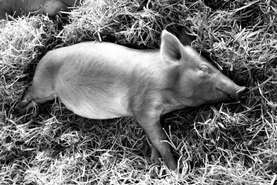 Има ли основания за страх от чумата по животните у нас?