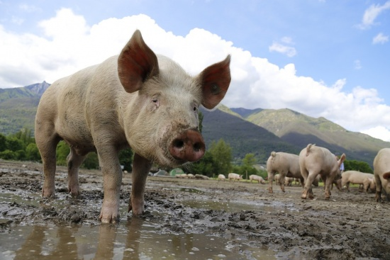 Бихте ли консумирали месо от свиня, болна от африканска чума?