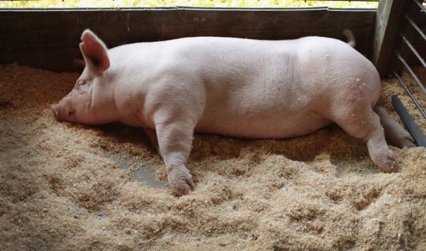 Адекватни ли са мерките на правителството за справяне с чумата по свинете?