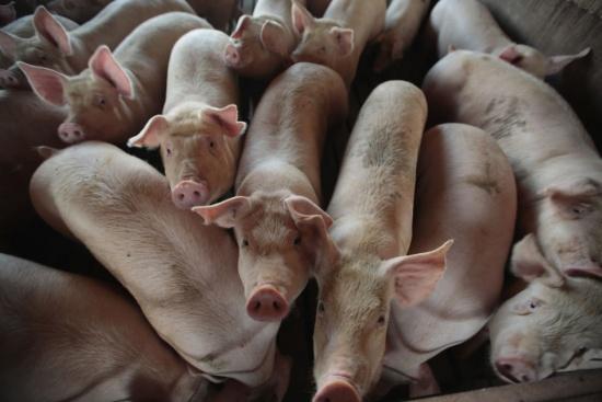 Информиран ли сте за последствията от разпространението на чумата по свинете?