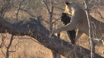 Африкански лъвове си играха с найлонов плик